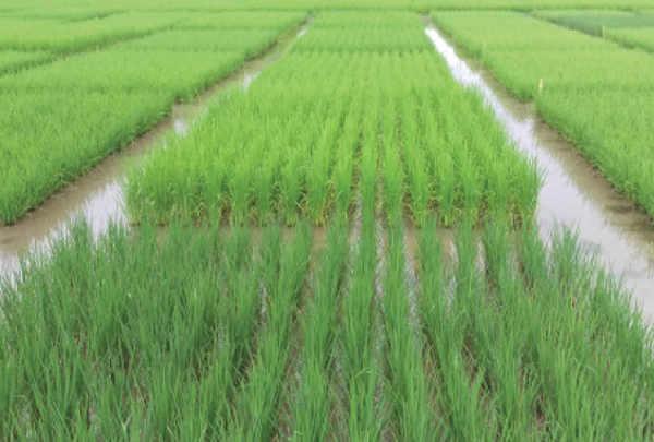 First pest resistant GM-rice